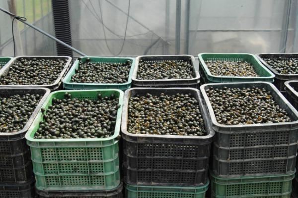210531보도자료(청송군, 친환경 잡초방제용 우렁이 보급) (1).JPG